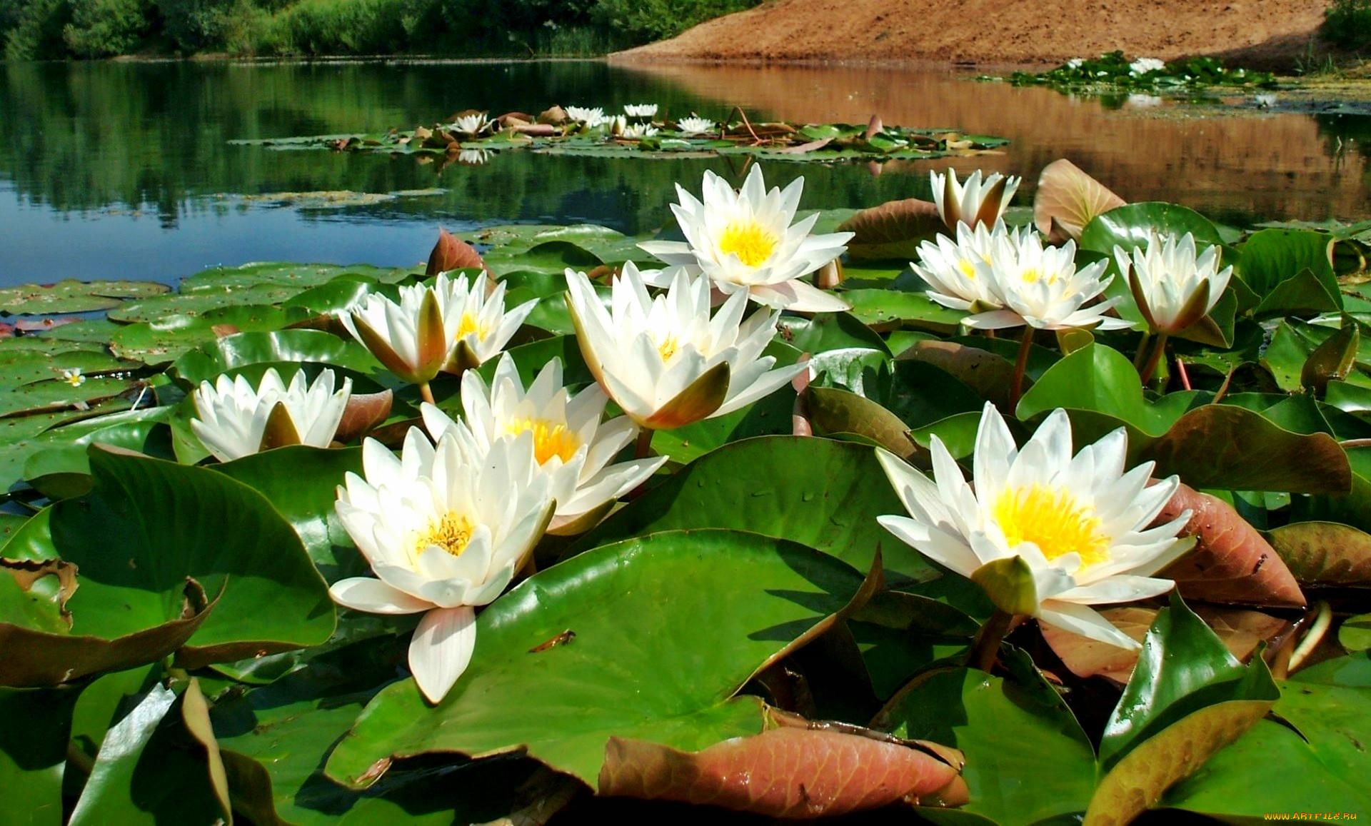 Картинки озеро с лилиями